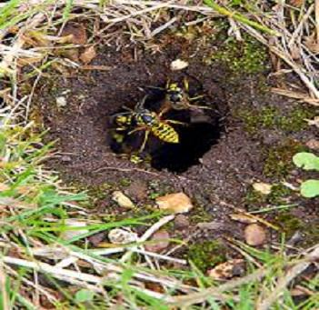 Wasps in Lawn